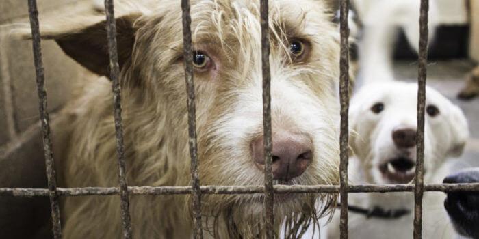 Dogs-Sad-Cage-Pets-Texas-Humane-Heroes